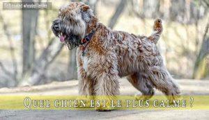 Quel-chien-est-le-plus-calme-Soft-coated-wheaten-terrier