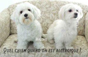 Quel-chien-quand-on-est-allergique02
