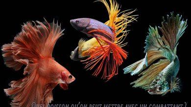 Quel-poisson-on-peut-mettre-avec-un-combattant-1200-800-01