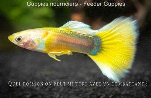 Quel-poisson-on-peut-mettre-avec-un-combattant-800-520-06