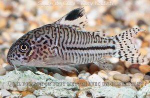Quel-poisson-on-peut-mettre-avec-un-combattant-800-520-07