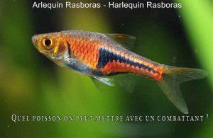 Quel-poisson-on-peut-mettre-avec-un-combattant-800-520-11