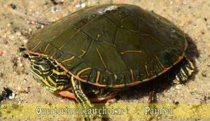 Quel-tortue-d'eau-choisir-02