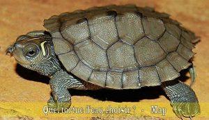 Quel-tortue-d'eau-choisir-04