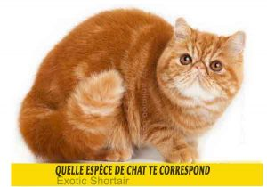 Quelle-espèce-de-chat-te-correspond-04-Exotic-Shortair
