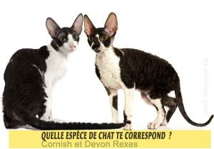 Quelle-espèce-de-chat-te-correspond-31-Cornish-et-Devon-Rexes