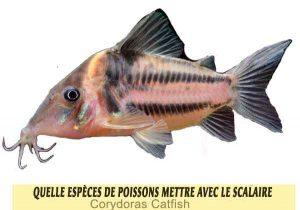 Quelle-espèces-de-poissons-mettre-avec-le-Scalaire-01-Corydoras-Catfish
