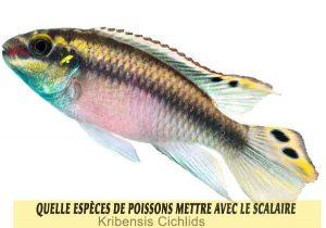 Quelle-espèces-de-poissons-mettre-avec-le-Scalaire-04-Kribensis-Cichlids