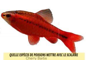 Quelle-espèces-de-poissons-mettre-avec-le-Scalaire-05-Cherry-Barbs