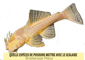 Quelle-espèces-de-poissons-mettre-avec-le-Scalaire-08-Bristlenose-Pleco