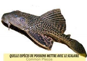 Quelle-espèces-de-poissons-mettre-avec-le-Scalaire-09-Common-Plecos