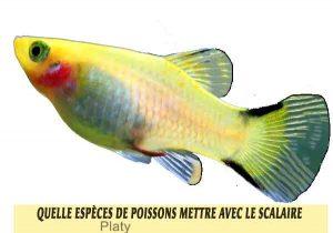 Quelle-espèces-de-poissons-mettre-avec-le-Scalaire-10-Platy