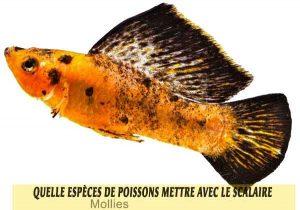 Quelle-espèces-de-poissons-mettre-avec-le-Scalaire-11-Mollies