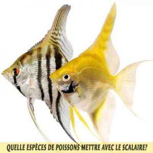 Quelle-espèces-de-poissons-mettre-avec-le-Scalaire-12