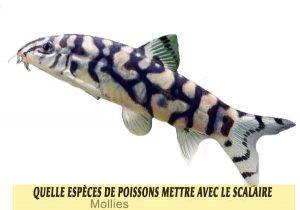 Quelle-espèces-de-poissons-mettre-avec-le-Scalaire-12-Yoyo-Loach