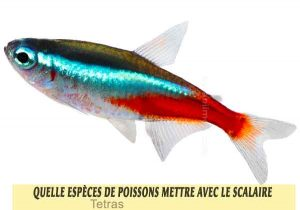 Quelle-espèces-de-poissons-mettre-avec-le-Scalaire-13-Tetras