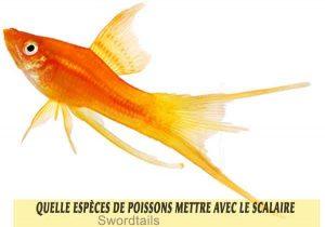 Quelle-espèces-de-poissons-mettre-avec-le-Scalaire-14-Swordtails