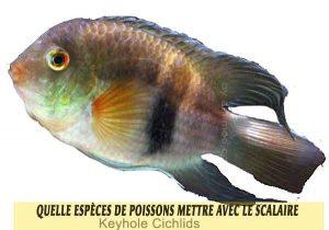 Quelle-espèces-de-poissons-mettre-avec-le-Scalaire-15-Keyhole-Cichlids