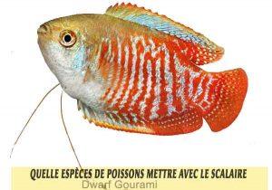 Quelle-espèces-de-poissons-mettre-avec-le-Scalaire-16-Dwarf-Gourami