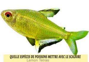 Quelle-espèces-de-poissons-mettre-avec-le-Scalaire-17-Lemon-Tetras