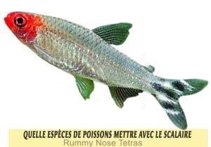 Quelle-espèces-de-poissons-mettre-avec-le-Scalaire-18-Rummy-Nose-Tetras