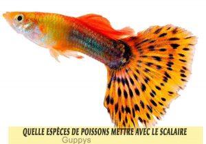 Quelle-espèces-de-poissons-mettre-avec-le-Scalaire-19-Guppys