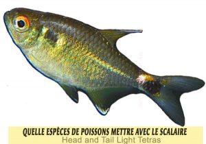 Quelle-espèces-de-poissons-mettre-avec-le-Scalaire-19-Head-and-Tail-Light-Tetras