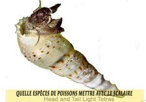 Quelle-espèces-de-poissons-mettre-avec-le-Scalaire-20-Malasian-Trumpet-Snails