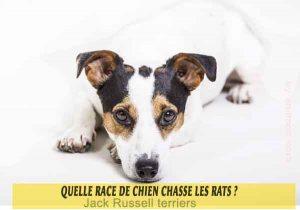Quelle-race-de-chien-chasse-les-rats-01-Jack Russell terriers