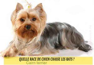 Quelle-race-de-chien-chasse-les-rats-02-Cairn-terrier