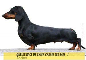 Quelle-race-de-chien-chasse-les-rats-03-Teckels