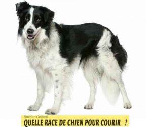 Quelle-race-de-chien-pour-courir-01-Border-Collies