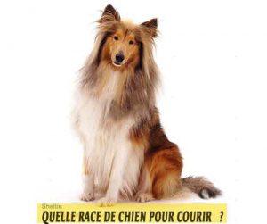 Quelle-race-de-chien-pour-courir-03-Sheltie