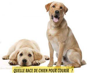 Quelle-race-de-chien-pour-courir-08-Labrador