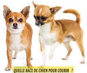 Quelle-race-de-chien-pour-courir-13-Chihuahuas