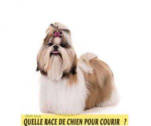 Quelle-race-de-chien-pour-courir-18-Shih-tzus