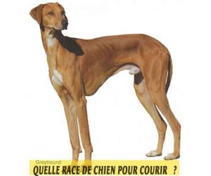 Quelle-race-de-chien-pour-courir-19-Greyhound