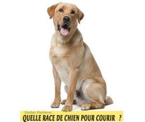 Quelle-race-de-chien-pour-courir-21-Golden-Retriever