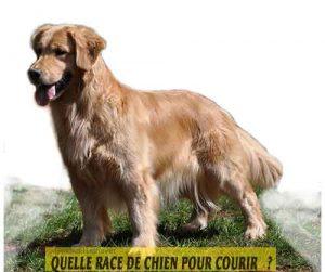 Quelle-race-de-chien-pour-courir-21-Golden-Retrievers