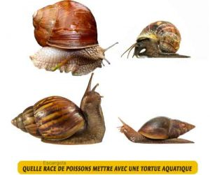 Quelle-race-de-poissons-mettre-avec-une-tortue-aquatique-02-Escargots