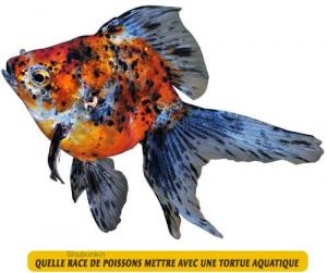 Quelle-race-de-poissons-mettre-avec-une-tortue-aquatique-04-Shubunkin