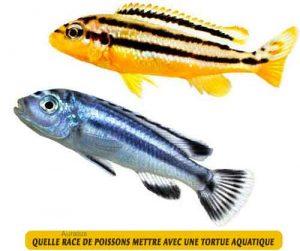 Quelle-race-de-poissons-mettre-avec-une-tortue-aquatique-06-Auratus