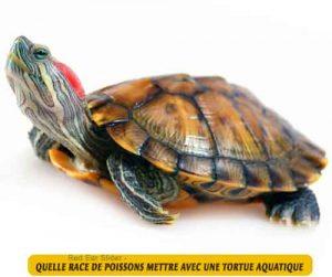 Quelle-race-de-poissons-mettre-avec-une-tortue-aquatique-07-Red-Ear-Slider