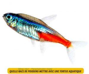 Quelle-race-de-poissons-mettre-avec-une-tortue-aquatique-08-tétras-néon---Paracheirodon-innesi