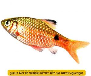 Quelle-race-de-poissons-mettre-avec-une-tortue-aquatique-09-Barbes-roses--Puntius-conchonius