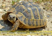 Quelle-tortue-Hermann-00