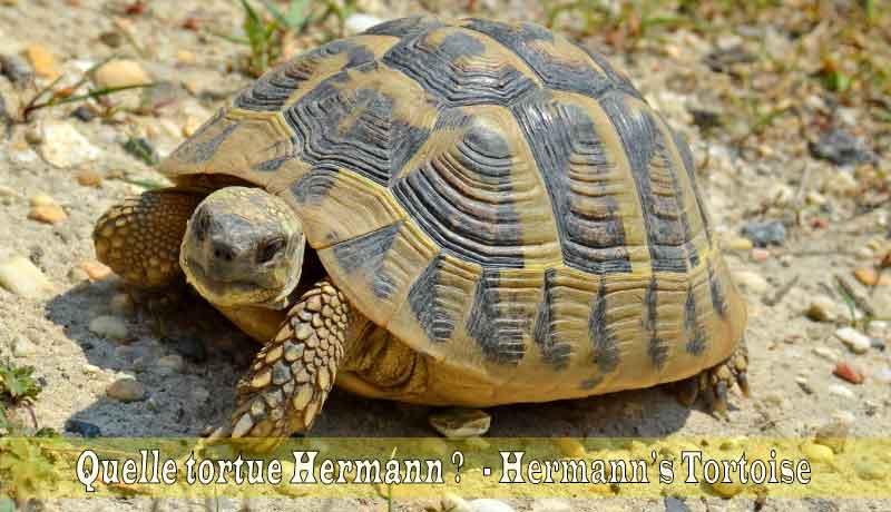 Quelle-tortue-Hermann-00