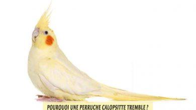 cockatiels-Calopsittes-élégantes-Pourquoi-mon-Calopsitte-tremble-00
