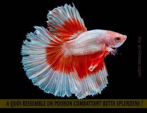 A-quoi-ressemble-un-poisson-Combattant-Betta-Splendens-02