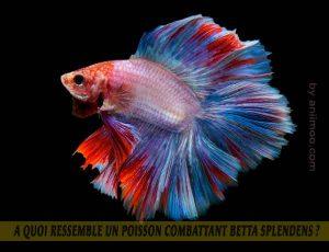 A-quoi-ressemble-un-poisson-Combattant-Betta-Splendens-03